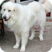 7/24/14 Austin, TX - Great Pyrenees. Meet Harper, a dog for adoption. http://www.adoptapet.com/pet/11228901-austin-texas-great-pyrenees