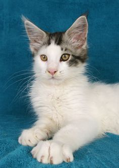 Black Silver Tabby White Harlewuin Maine Coon |    La Lau's God Of Thunder | ns 02 21 | dob: 2016-04-29