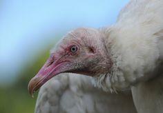 """Black """"Albino"""" Vulture"""