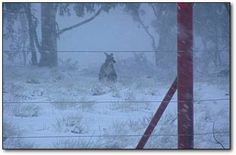 Bet you didn't know Australia, on top of it all, also has HORRIBLE WINTERS (in parts of it). winter wonderland, australia kangaroo, horribl winter, australian snow, spot