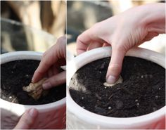 How To: Plant and Grow Ginger Root | 17 Apart: How To: Plant and Grow Ginger Root