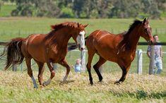 Caballos Brumby- Los Caballos Brumby son una raza especial de caballos salvajes que habitan en Australia. Estos caballos son el resultado de varios factores, lo cual ha intervenido de forma notable en sus características.