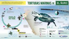 Las tortugas marinas de El Ñuro