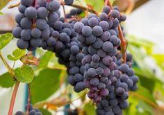 Viiniköynnöksen kasvatus onnistuu Suomessakin. Lue Viherpihan vinkit viiniköynnöksen kasvatukseen ja sopivan lajikkeen valintaan.
