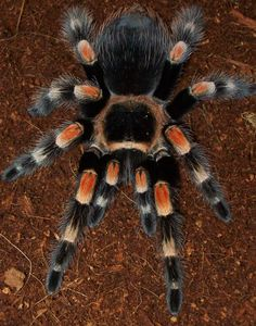 Brachypelma Smithi aka Mexican Redknee Tarantula For full details, check out this website:  http://www.iucnredlist.org/details/8152/0