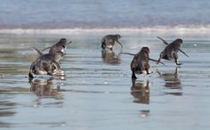 Aww – Little Blue Penguins are released by wild life workers at Mount Maunganui beach in Tauranga. The Penguins were affected by New Zealand's biggest sea pollution disaster when a ship slammed into a. Pearl Harbor Day, Baby Animals, Cute Animals, Mount Maunganui, Cute Animal Photos, Animal Pictures, Animal Fun, Animal Faces, Oil Spill
