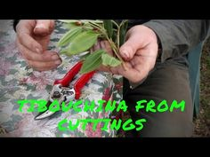 Soft tip Tibouchina cuttings, propagation - YouTube