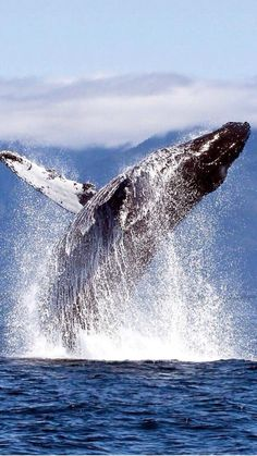 Humpback whale breaching. Love these majestic giants.