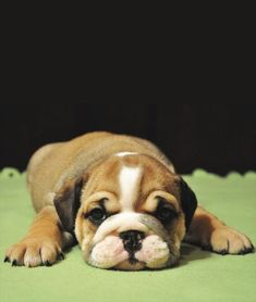 I Love all Dog Breeds: 5 very interesting and short facts about bulldogs