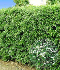 Kirschlorbeer-hecke, 1 Pflanze Einfassungspflanzen Gestaltungsideen
