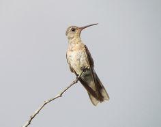 El colibrí anteado (Leucippus fallax) es una especie de la familia Trochilidae. Esta ave se encuentra en Colombia, Guayana Francesa y Venezuela. Llega a medir 11,5 cm con un peso promedio de 6,5 g.