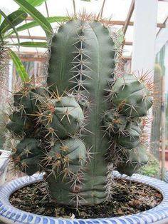 Gymnocalycium paediophilum Cacti