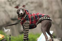 Whole fur Vest / Red in IGGYplus italian greyhound clothes