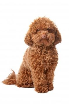 Apricot Toy Poodle:  Is this the breed for you?  Find out at http://smalldogplace.com/toy-poodle.html