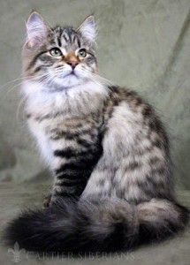 Hypo-allergenic kittens due March 25, 2012!