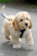 Everything about the Cavapoo dog breed. Discover Cavapoo coloring, sizing, traits, lifespan, and compare Cavapoos to other dog breeds. Maltipoo Dog, Cockapoo Puppies, Spaniel Puppies, Goldendoodles, Cute Puppies, Cute Dogs, Dogs And Puppies, Animals, Dog Breeds