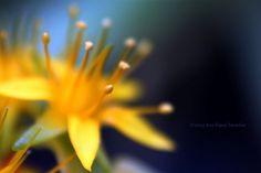 Estambres de flores de Sedum palmeri con polen (2/3)