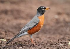 American Robin - These are what we had tons of in New York. Don't see any in Florida!