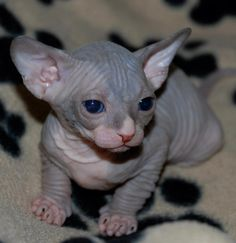 baby sfinx, I want one!♡
