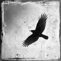 Crow Bird Silhouette Flight Sky, Old Aged Film Vintage Goth Look, Square. Black and White Nature Photograph. Fine Art Photography Print.