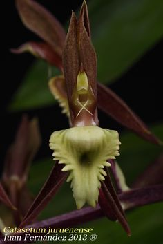Flower-detail of Catasetum juruenense. - Flickr - Photo Sharing! Unusual Plants, Exotic Plants, Exotic Flowers, Orchid Flowers, Most Beautiful Flowers, Love Flowers, Beautiful Gardens, Orchid Varieties, Perennial Flowering Plants
