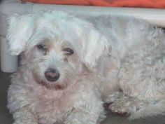 BENGALINA  Pet ID: A1386119  Sex: F Age: 4Years Color: WHITE  Breed: POODLE MIN - MIX  Kennel: 085  OC (714) 935-6848 and identify your pet by the Pet Identification Number
