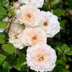 """本日の薔薇""""  ^^  ミコルファンターナ[Micol Fontana] イタリア バルニ 作 2013年   ごく淡いピンクベージュ色に、ほんのり ピンクやアプリコットが浮かぶ、柔らか な雰囲気のバラ。花つきが良く、繰り 返し花を咲かせます。樹形も大きく なりすぎず、鉢植えでも楽しめます。 イタリアモードの創立者に捧げられた バラ。   花径:10cm 樹高:1.0~1.2m 花季:四季咲き その他:香⇒ほのかな香り  ※京阪園芸ガーデナーズのロ-ズ バルニはこちらから→ http://www.keihan-engei-gardeners.com/fs/keihangn/GoodsSearchList.html?_e_k=%82%60&keyword=%C0%B0%C5&x=0&y=0"""