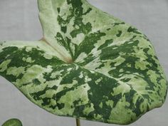 Big Leaf Caladium with Softly Speckled and Variegated leaves