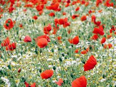 """expressions-of-nature: """" Wild Poppy & Daisy Field, Earls Colne, England by Hinkin """""""