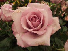 Beautiful Rose Flowers, Love Rose, Flowers Nature, Amazing Flowers, Beautiful Flowers, Orchid Flowers, Gif Kunst, Rose Reference, Rose Flower Tattoos