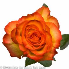 """High and Magic"" orange bi-color rose"