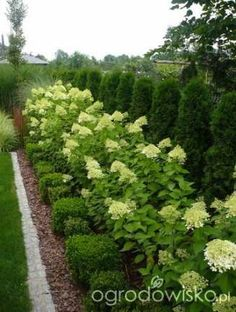 A garden return to childhood. - page 1276 - Garden forum - Garden, Hydrangea Landscaping, Privacy Landscaping, Driveway Landscaping, Arborvitae Landscaping, Acreage Landscaping, Landscaping Design, Outdoor Landscaping, Backyard Patio, Backyard Ideas