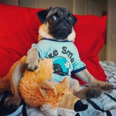 You'll never guess what the fox just said Reposted from @notjustanotherpug #pugs #pugsofinstagram #pugstagram #pugsproud #whitepug Tag your friends by pugsproud