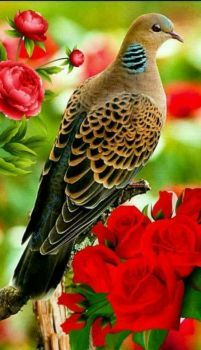 "Oriental turtle-dove (Streptopelia orienta Dove -Collected from: ""Pigeon Among Roses pieces)"" Pretty Birds, Beautiful Birds, Animals Beautiful, Small Birds, Colorful Birds, Dove Bird, Kinds Of Birds, Tier Fotos, Bird Pictures"