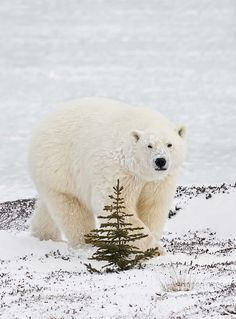 Polar Bear and tree copy by DavidCIrey, via Flickr