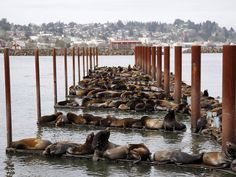 Hundreds of sea lions lay on marina docks in Astoria, Oregon. More than 2,300 California sea lions have taken over the docks of the coastal community and are expected to stay until the smelt and salmon runs they feed on are finished in late May REUTERS/Steve Dipaola 29 March 2015