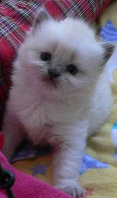 British Longhair Kitten. I want one!!