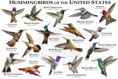 Hummingbirds of the United States Art Poster Print / Field Guide Pretty Birds, Beautiful Birds, National Geographic, Bird Identification, Wall Art Prints, Poster Prints, Humming Bird Feeders, Ruby Throated Hummingbird, Backyard Birds