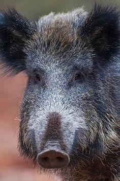 Portraet einer Wildschweinbache - (Schwarzwild - Schwarzkittel), Sus scrofa, Portrait from a female Wild Boar - (European Boar - Wild Hog)