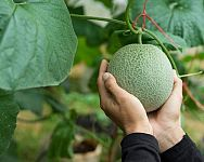 Sadenie mrkvy, hrachu, fazuľe, cibule či kalerábu – kedy a ako Cantaloupe, Avocado, Fruit, Aloe Vera, Garden, Composters, The Fruit, Garten, Lawn And Garden