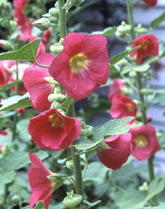 Hummingbird attractor: Hide hollyhocks leaves and the base of its lanky stems with bushier perennials such as baptisia or peony.