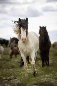 Horses, heste, animals, furry, beauty, beautiful, gorgeous
