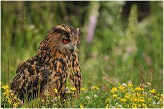 Grand duc d'Europe         (Bubo bubo)  (Eagle Owl)