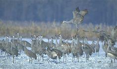 Jasper-Pulaski Sandhill Crane Migration