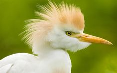Cattle Egret is a long-legged water bird living in the tropics. Description from freevector.com. I searched for this on bing.com/images