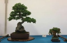 Haru 2016. Foto del Facebook de Bonsai Club Sant Vicenç. #Bonsai #BonsaiTree #盆栽 #BonsaiLife #Бонсай #BonsaiExhibition #BonsaiWork #盆景 #Penjing #Bonsaï