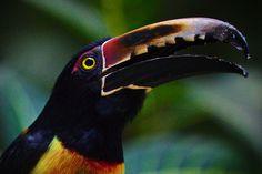 toco toucan Toco Toucan, Slide, Animals, Animales, Animaux, Animal, Animais