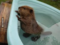 """Do you know? A baby beaver is called a """"kit""""!"""