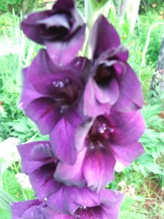 #Purple #Gladiola in our #garden...a place of peace and #happiness.