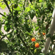 #deweymisteraeroponics #growing #aeroponics #cherrytomatoes #growyourown #homegrown #vegetables #DeweyMister #GrowingSolutions by deweymister1